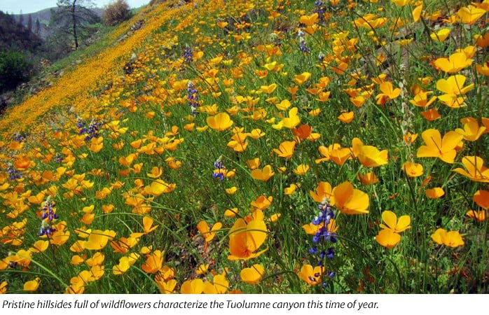 California poppies in the Tuolumne River Canyon